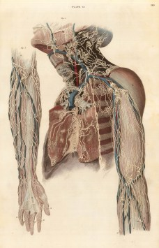 """William Home Lizars, Study of the nerves and vessels of the arms and neck, plate XI. c.1822. An original colour steel-engraving. 10"""" x 17"""". £POA."""