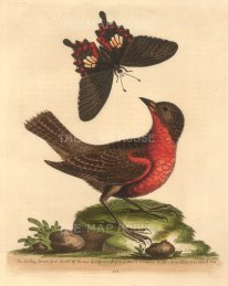 George Edwards: Bullfinch and Swallowtail butterfly. 1764. A hand-coloured original etching. 8 x 10 inches. [NATHISp7227]