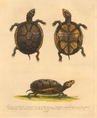 George Edwards: Tortoise. 1760. An original antique hand-coloured etching. 8 x 10 inches. [NATHISp7229]