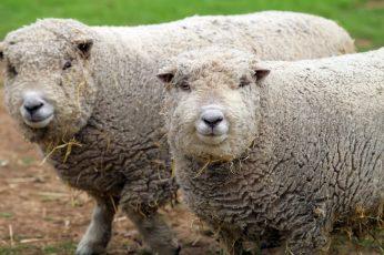 longsword_winery_sheep
