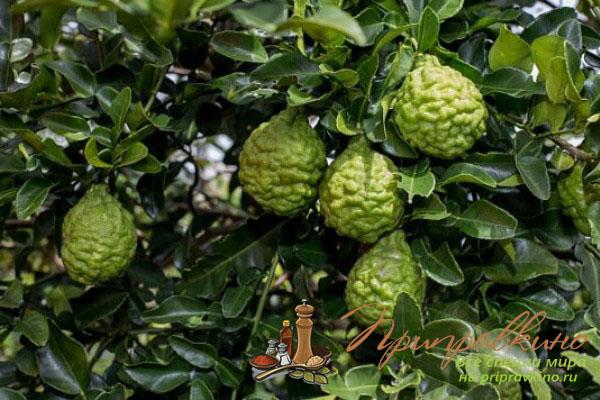 Всё про бергамот: что это за растение, полезные свойства ...