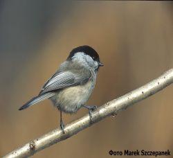 Птицы, зимующие в Воронежской области