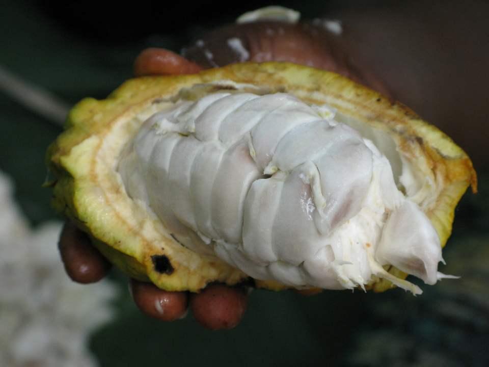 Imagem fruta de cacau caberta