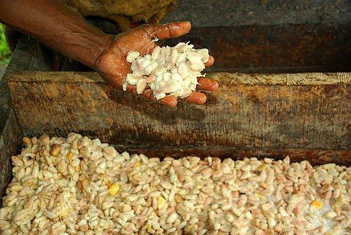imagem de caixa de fermentação com sementes e polpa de cacau