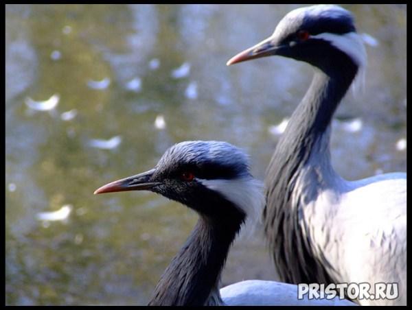 Птица журавль красавка фото, описание, интересные факты