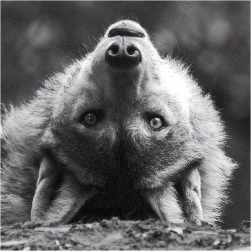 Скачать фото волка бесплатно, красивые фото волков ...