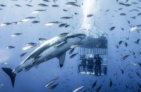 Скачать красивые картинки и фото на тему - Большая белая акула