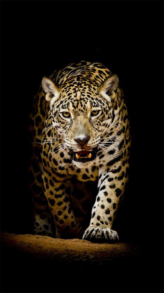 Скачать бесплатно картинки и обои на телефон Леопард ...