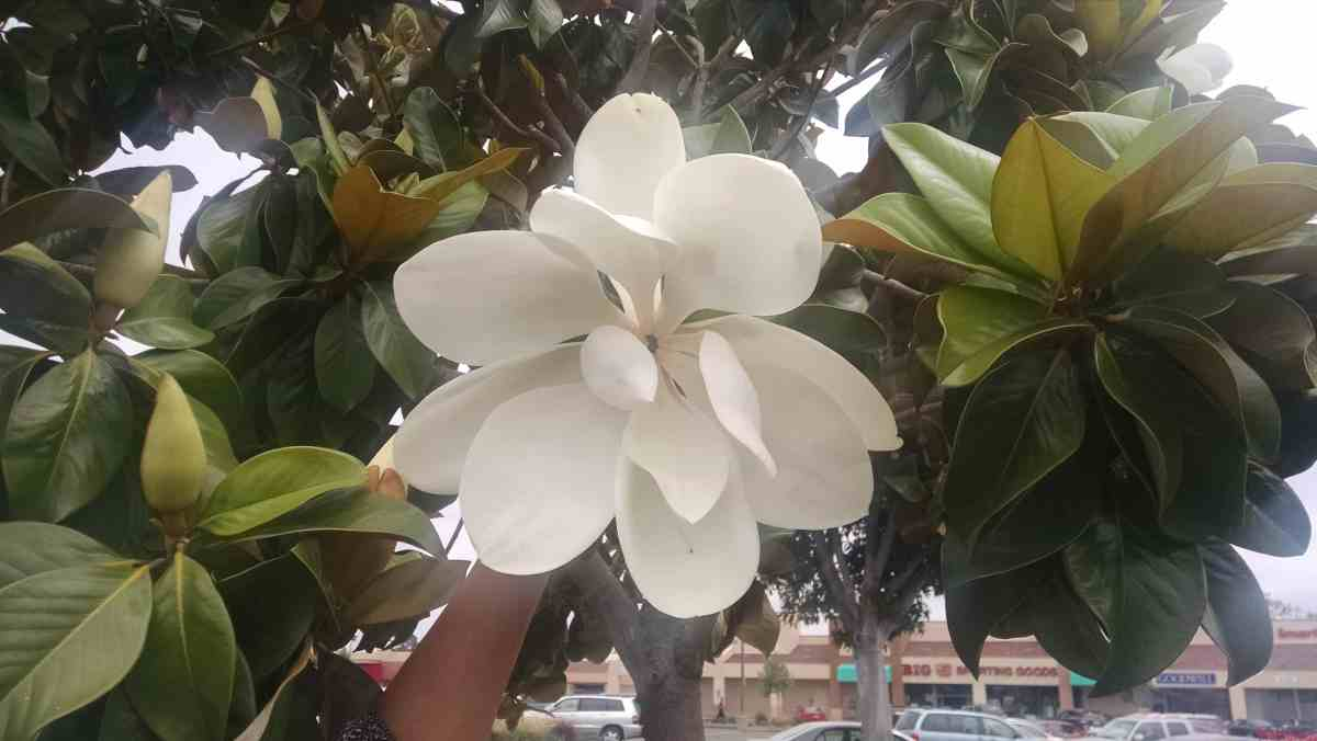 Know more about Magnolia
