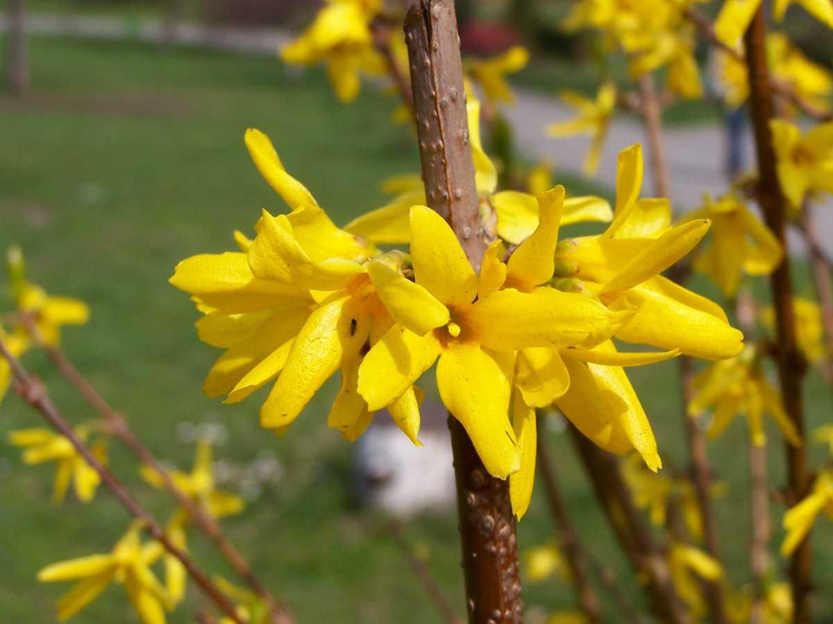 Gardening wisdom to - Prune Roses
