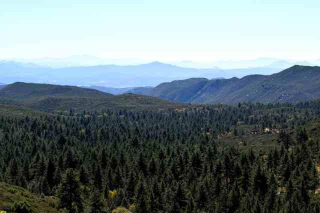 Mount Laguna Pine trees