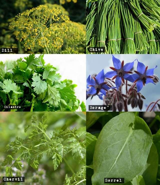 cool season herbs