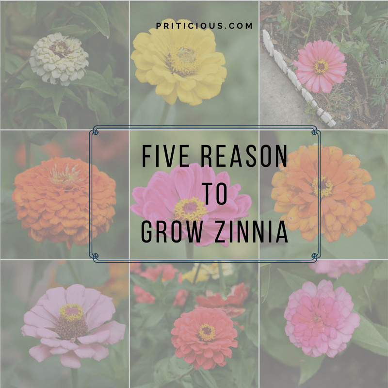 Five reasons to Grow Zinnia