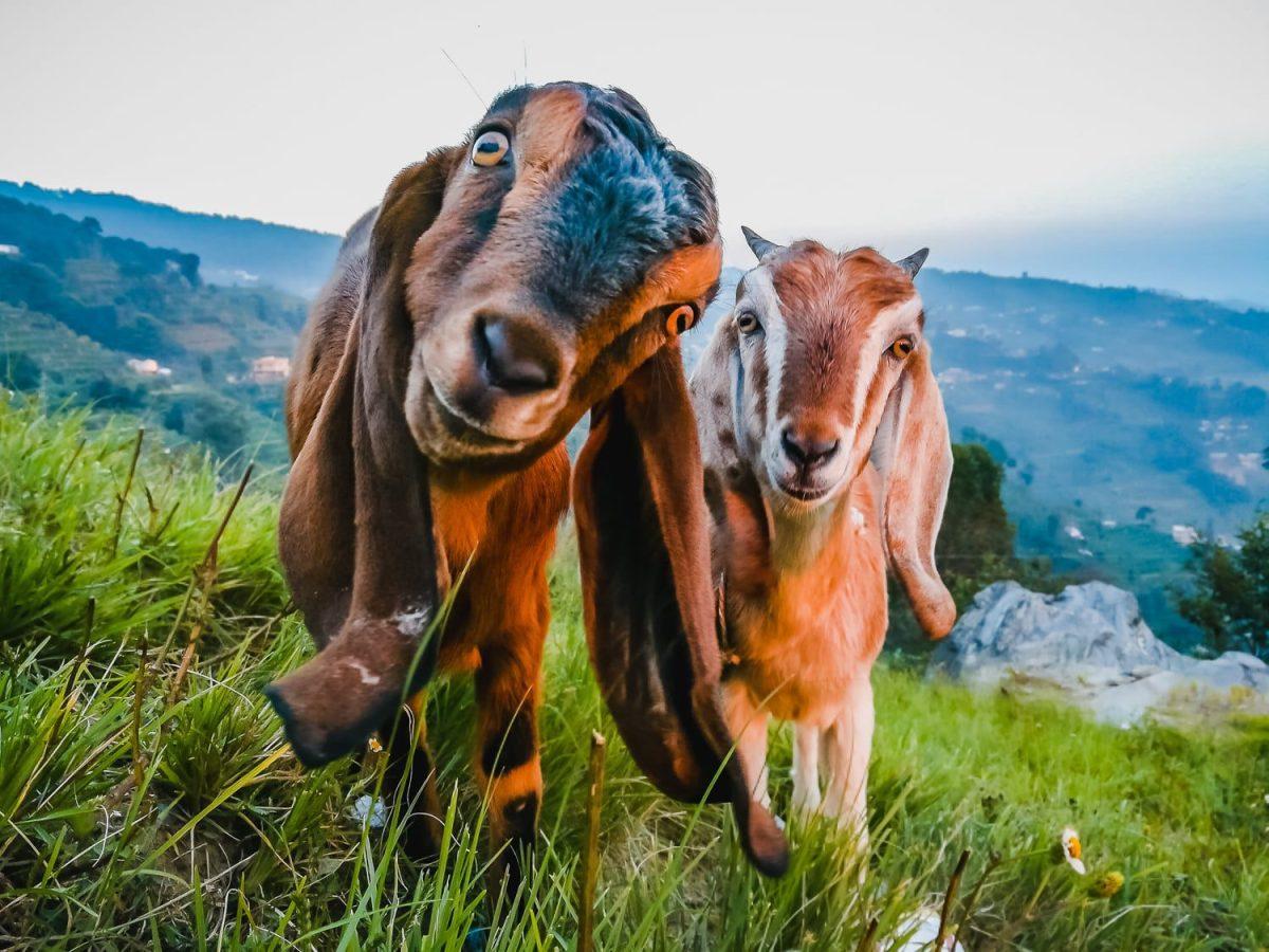 long ear goat nepal