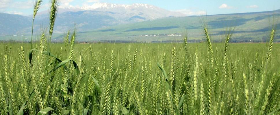 Wheat Hahula Israel2  Rotator