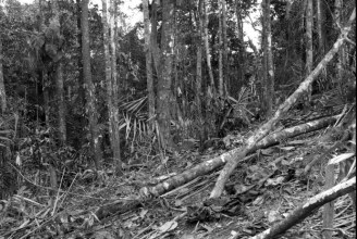 Municipio De Bojaya-Choco. The marks left on the forest by confrontations between the armies of the paramilitaries and the guerillas symbolize the...