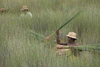Women gather the mahampy swamp reeds that are a vital component of village industry.