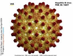 hepB virus