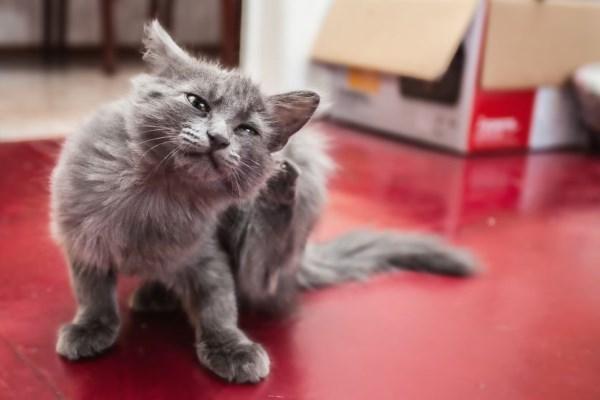 Kucing gatal karena kutu tick