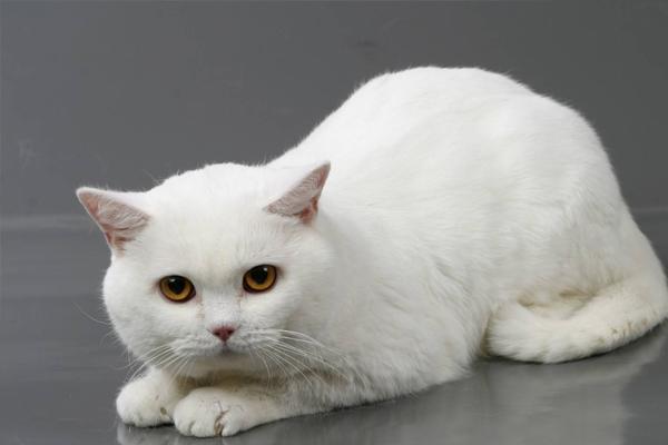 kucing Inggris putih