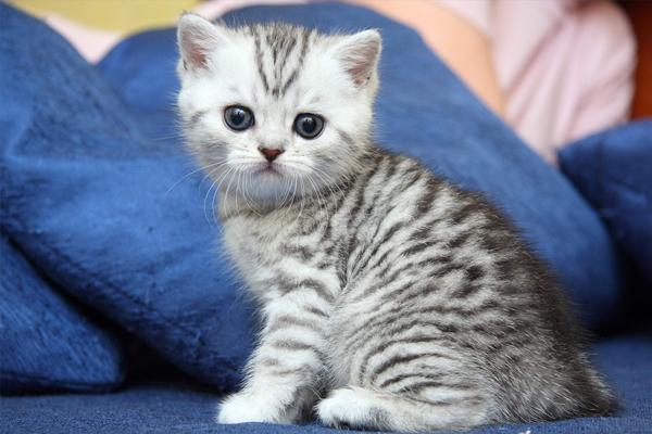 Kucing wiski