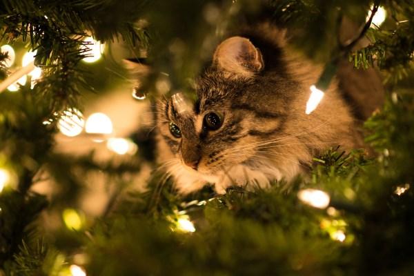 Kucing melihat karangan bunga natal