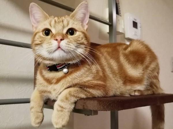 Laki-laki kucing merah