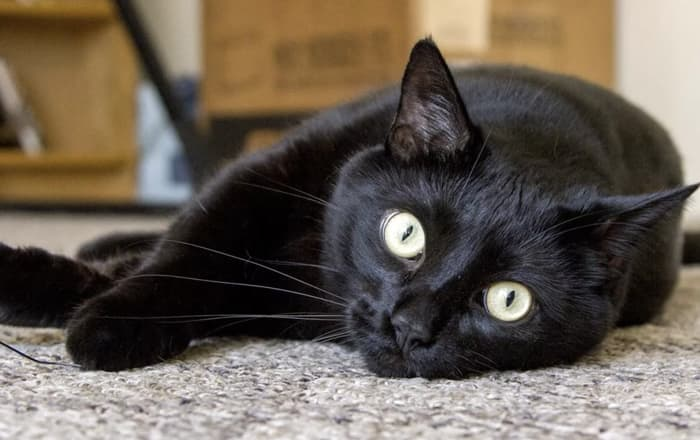 Foto kucing Bombay