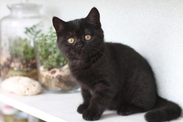 kucing Inggris hitam