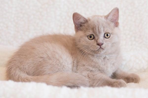 Kucing Inggris warna lilac