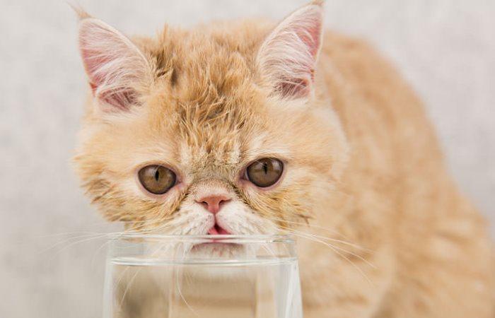 Kucing eksotis minum air dari gelas