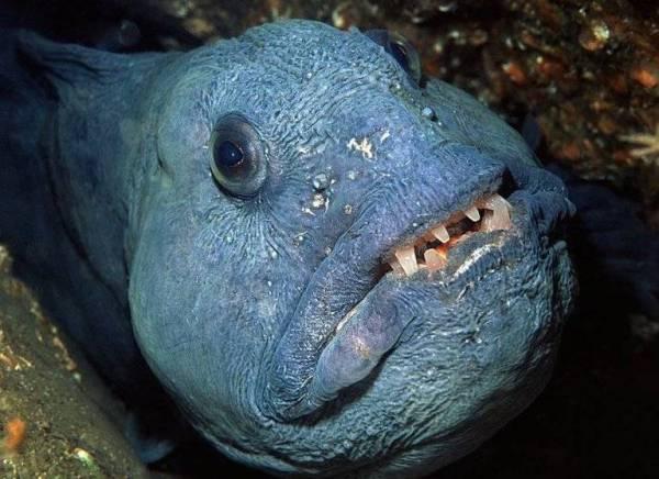 Рыба зубатка - подробный обзор морской рыбы от А до Я