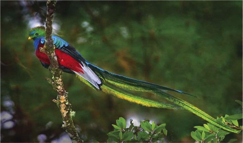 Загадочная птичка Квезаль