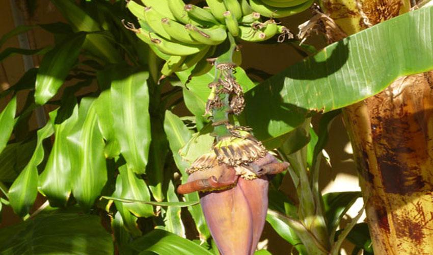 Необычный цветок банана