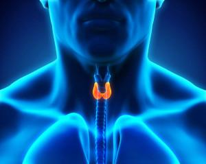 30511389 - human thyroid gland
