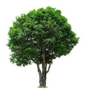 16686351 - mango tree