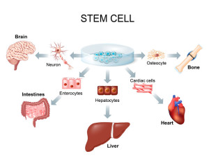 63923714 - stem cell application. using stem cells to treat disease