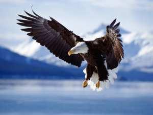 bald eagle, all seeing eagle