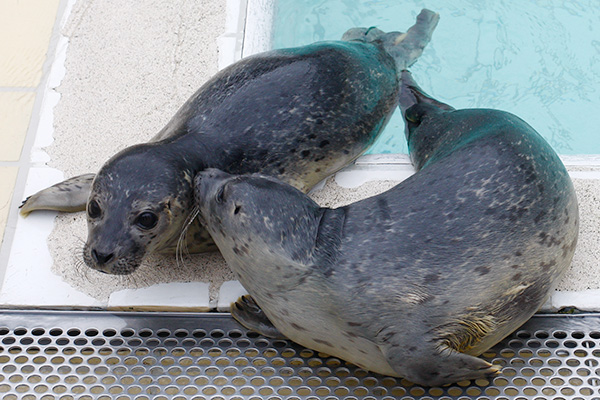 When you travel to the North of the Netherlands you can visit the seal rescue centre in Pieterburen and even release seals into the wild at the Wadden Sea!