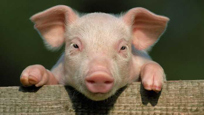 Когда свинью повесили