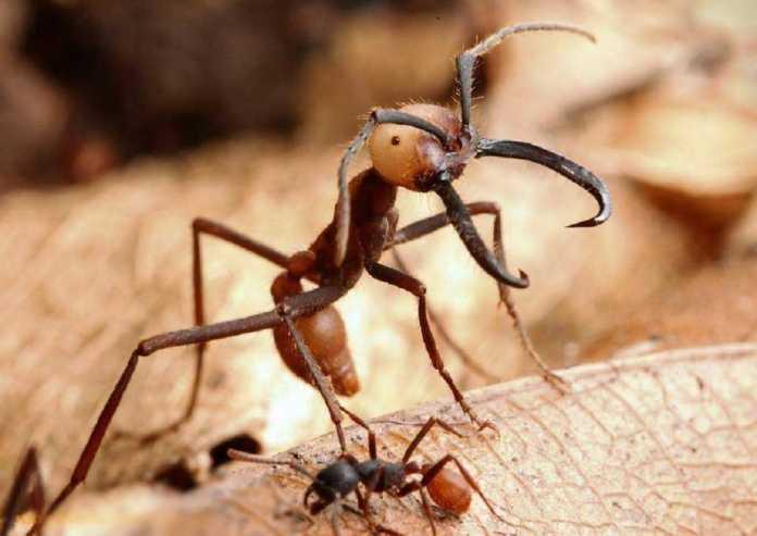 армейские муравьи