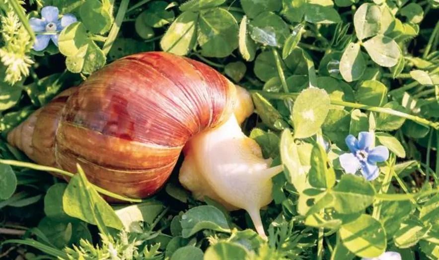 Ministerio de Salud informa medidas contra presencia caracol gigante africano