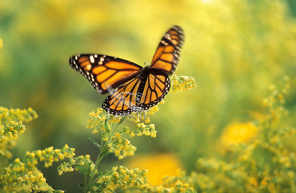 MONARCH BUTTERFLY (Danaus plexippus).Flying through Goldenrod (Solidago x hybrida). Autumn. British Columbia, Canada.