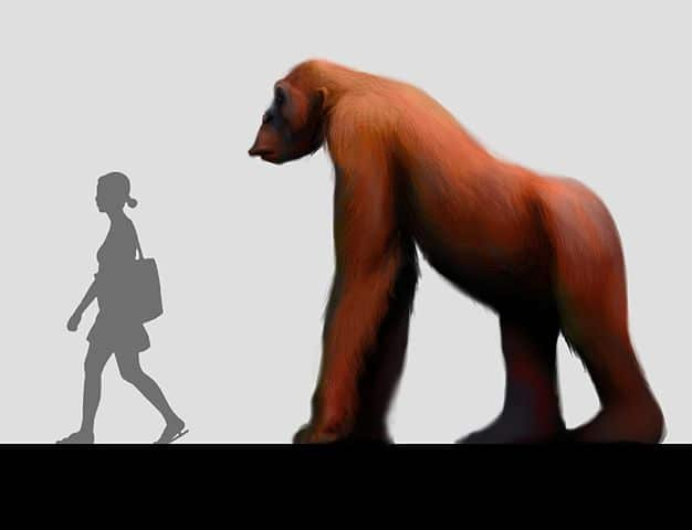 tamaño del gigantopitecus