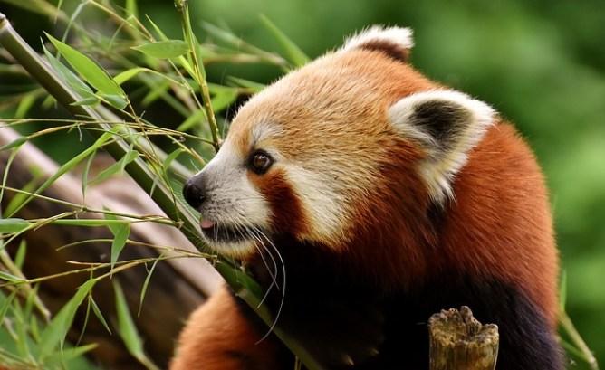 pandas rojos comiendo bambú