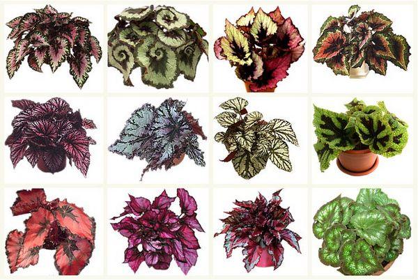 Begonia kuva