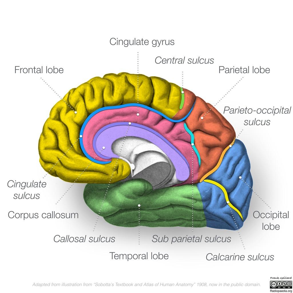 Diagram Brain
