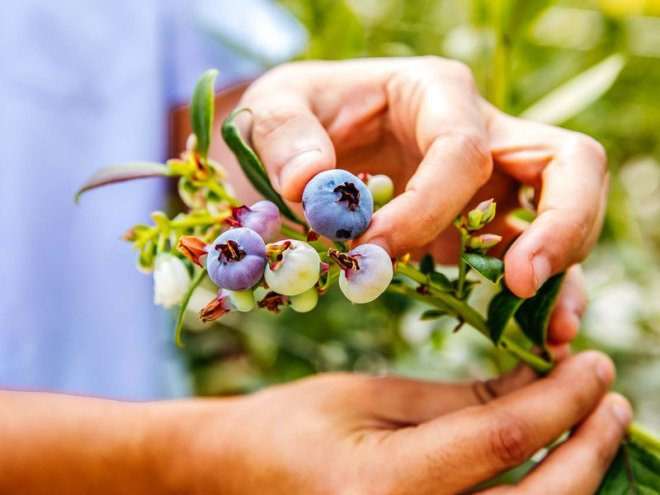 Elite Agro has obtained the exclusive rights to grow and sell five premium blueberry varieties in the Middle East