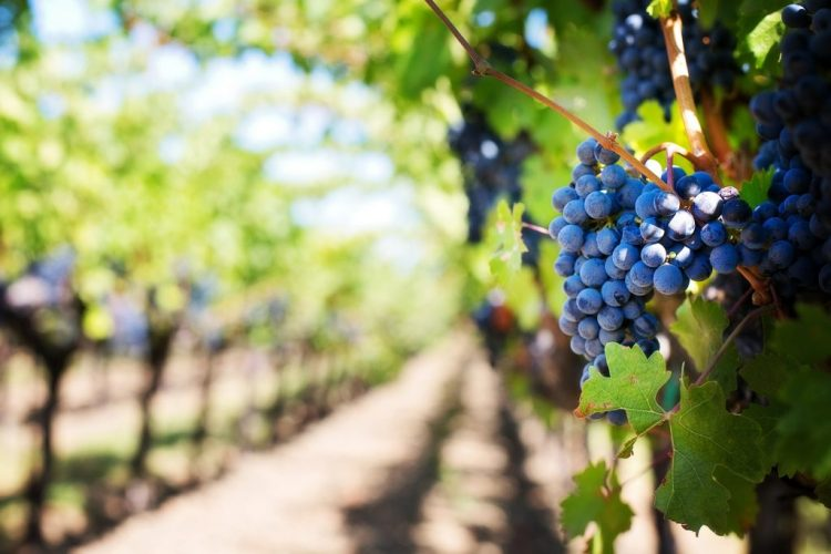 Ibiza no clubbing - vineyards