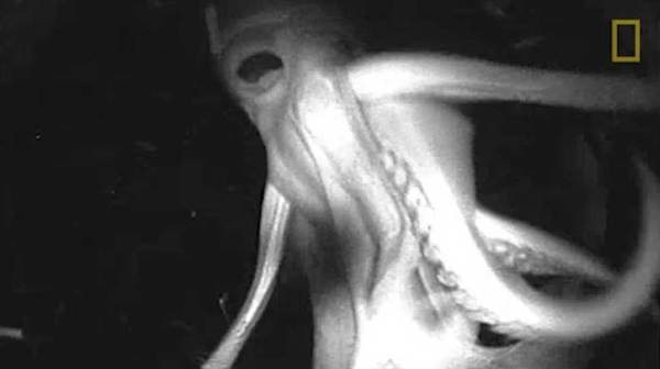 Cameras strapped to giant squids capture their alien world